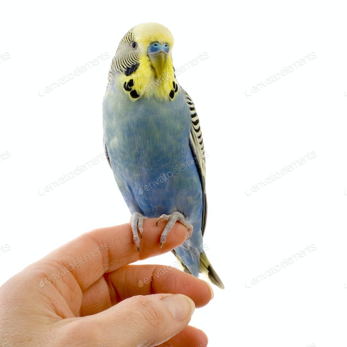 budgie on a hand