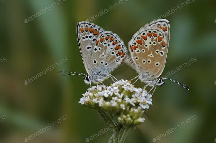 Kontakt - Schmetterlinge auf der Blüte