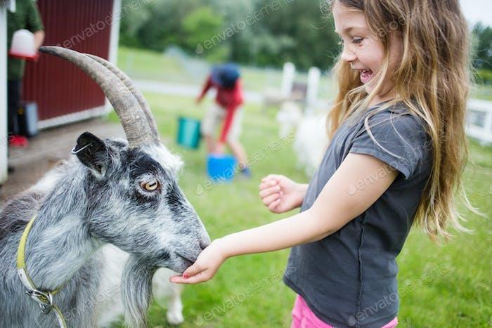 Girl (4-5) feeding gray goat