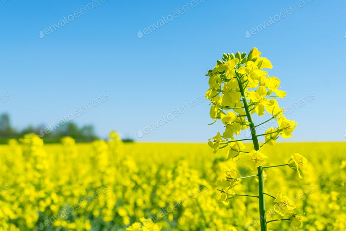 Rapssamen (Brassica Napus), Raps, Raps, Rapsfeld. Hellgelbe Blume Brassica Napus hautnah