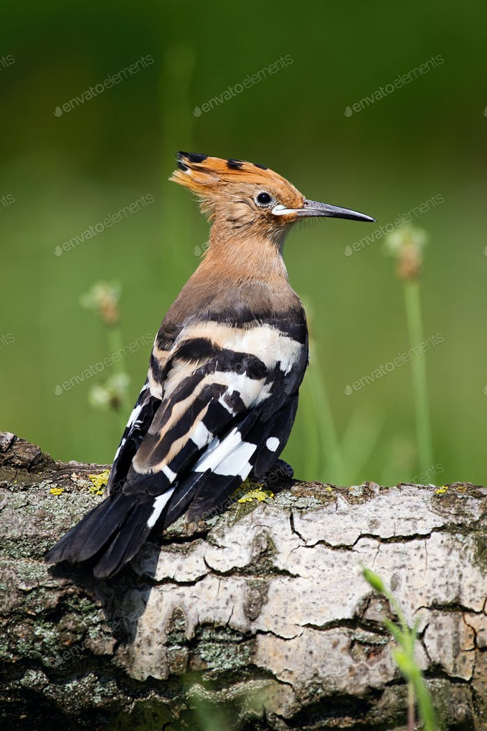 Young Eurasian hoopoe sitting on tree trunk in summer