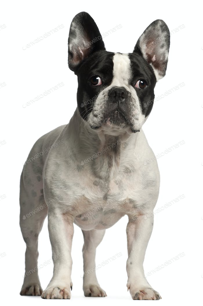 French Bulldog, 3 years old, standing in front of white background