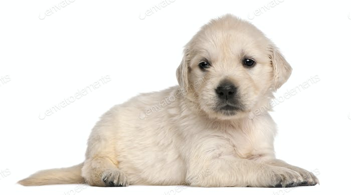 Golden Retriever puppy, 4 weeks old, in front of white background