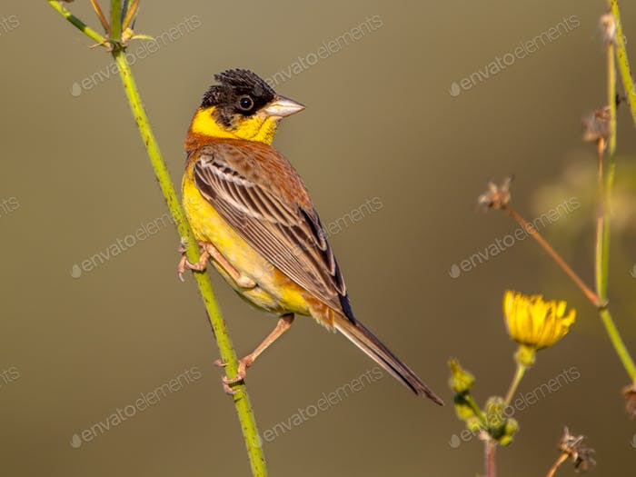 Black headed Bunting perched in herb