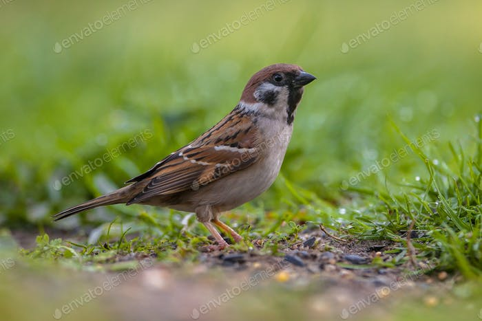 Alerted Tree sparrow