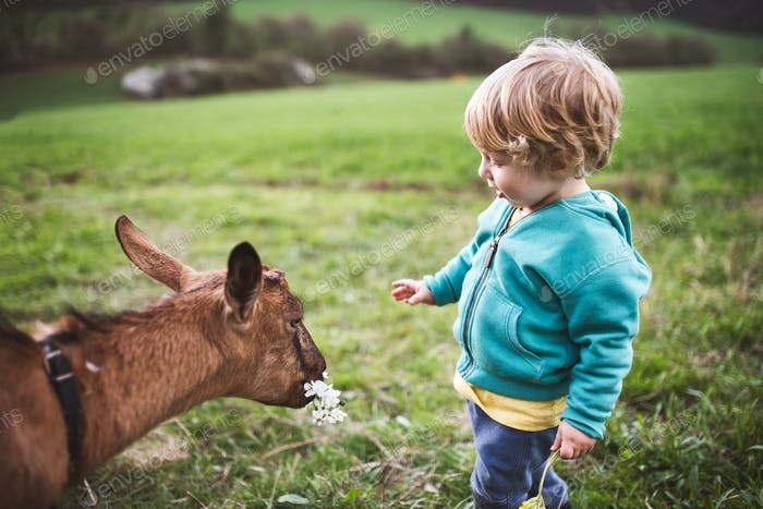 A toddler boy feeding a goat outside in spring nature.