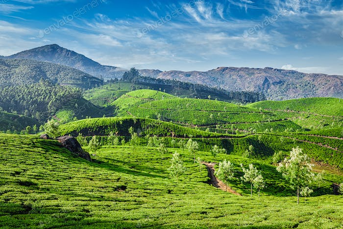 Tea plantations, Munnar, Kerala state, India