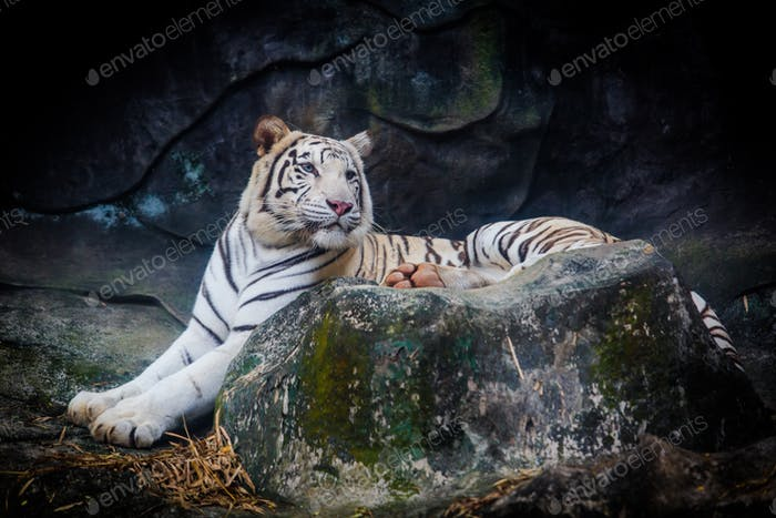 White tiger. Tiger On a Rock