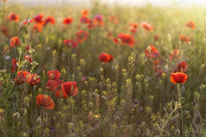 Red poppies field at sunset
