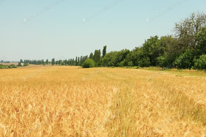 Barley field. Amazing sunny day. Agriculture and farming