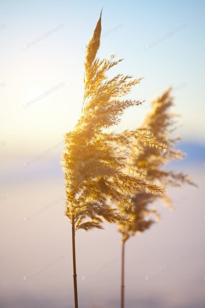 Reed in the quiet evening on a sunset