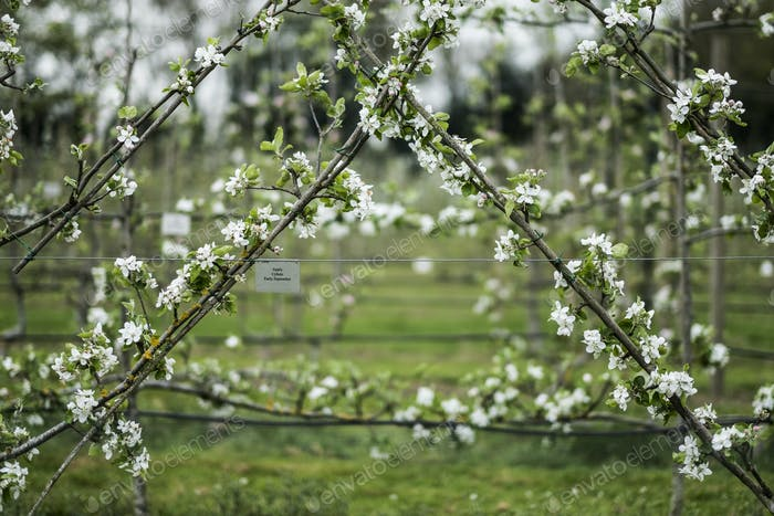 Close up of white blossoms on branches in spring.