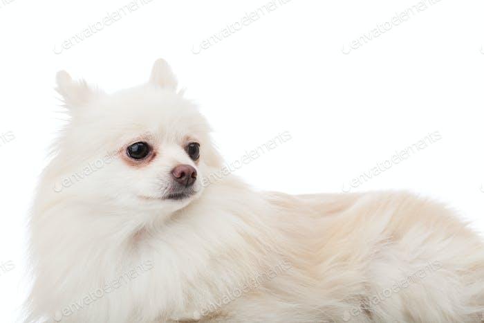 White pomeranian lying down