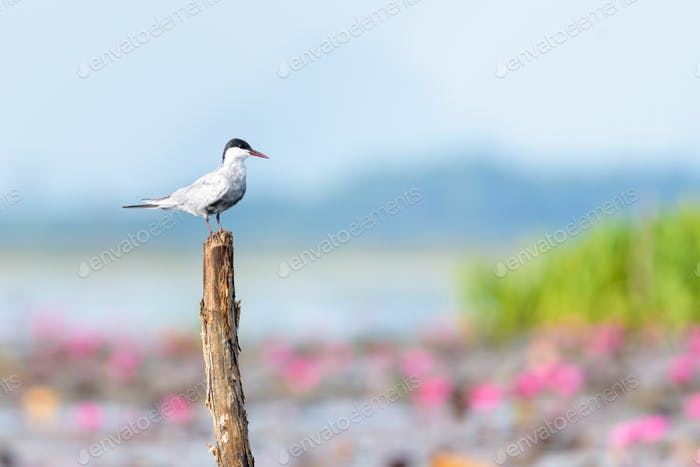 Arctic tern bird at Thale Noi Waterfowl Park