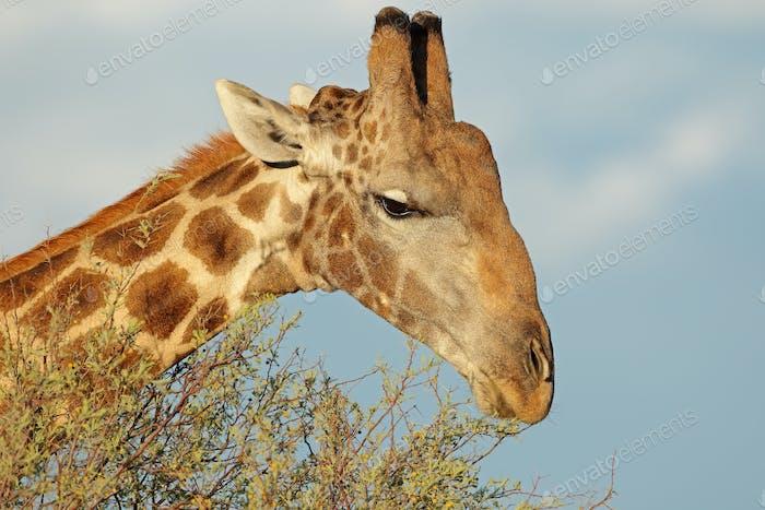 Giraffe feeding on a tree