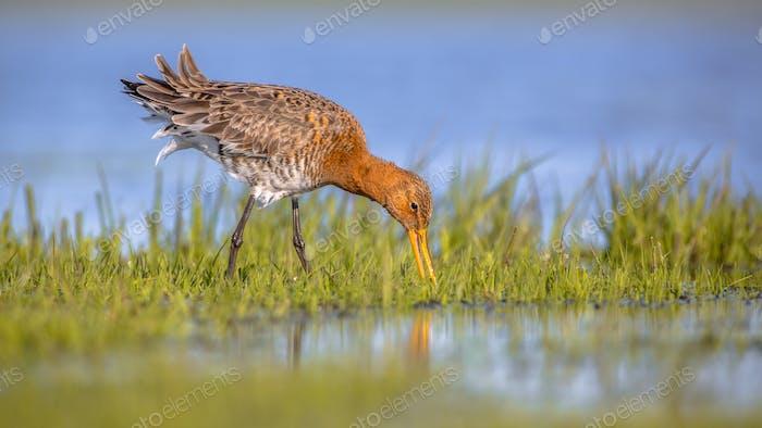 Feeding Black tailed Godwit foraging in wetland