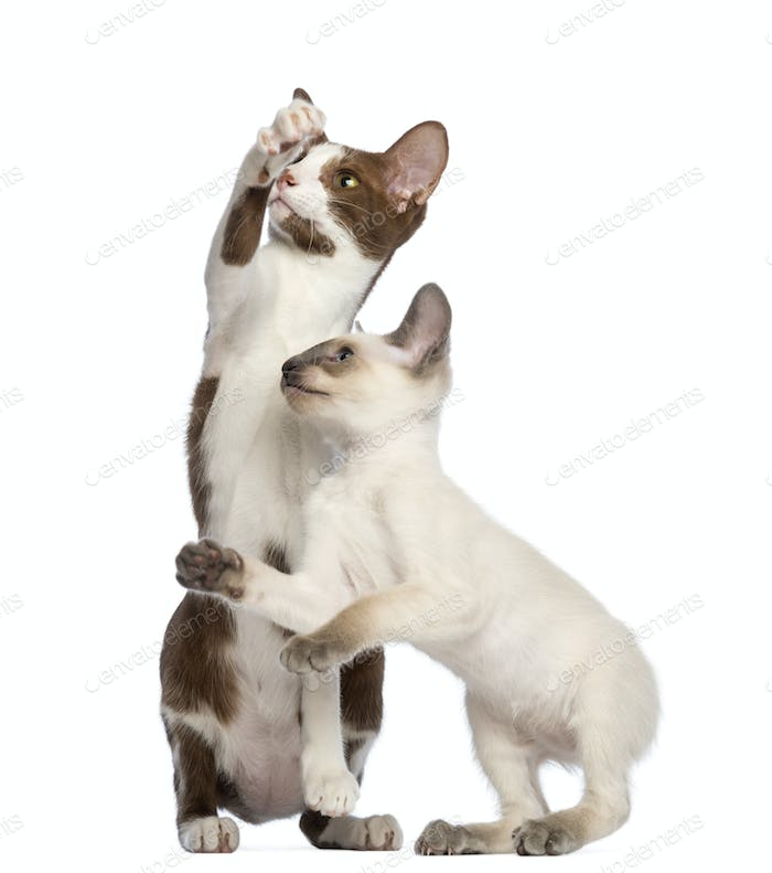 Two Oriental Shorthairs, adult and kitten, standing on hind legs