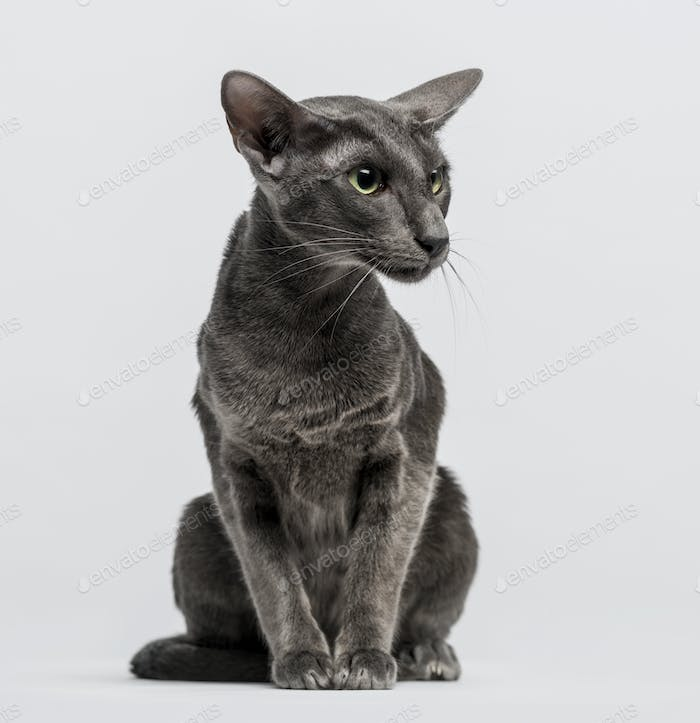 oriental shorthair sitting and looking away
