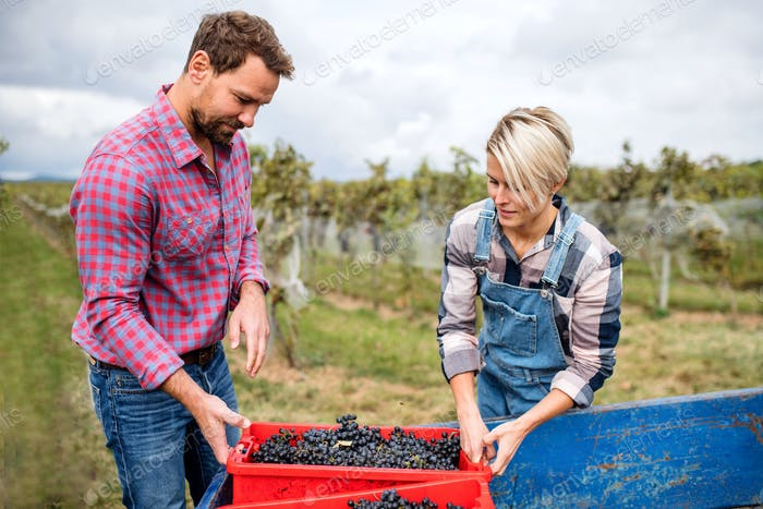 Man and woman collecting grapes in vineyard in autumn, harvest concept