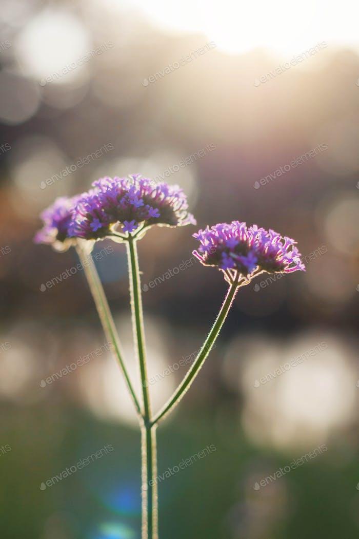 Purple flowers at sunlight