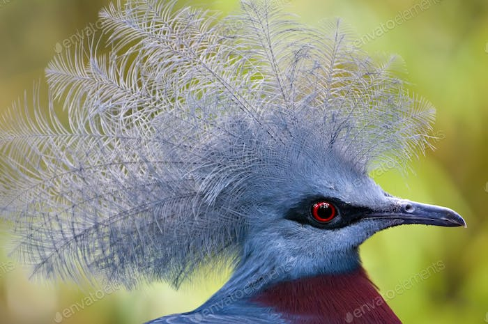 Victoria Crowned Pigeon, Goura victoria
