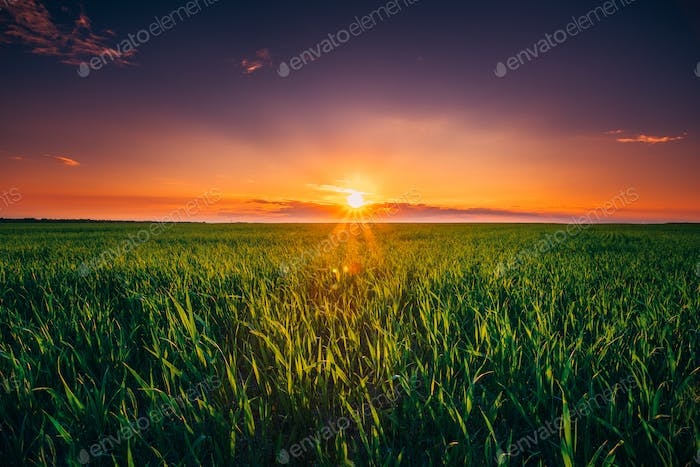 Sunset Dawn Sunrise Sky Above Rural Landscape Of Green Wheat Fie