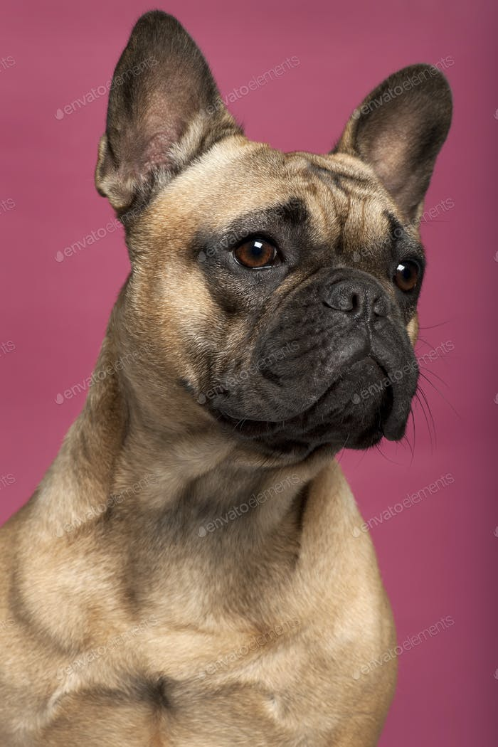 Close-up of French Bulldog, 11 months old, in front of pink background