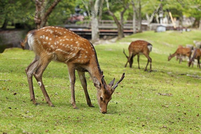 Wild deers walking around in Omoto Park, Japan