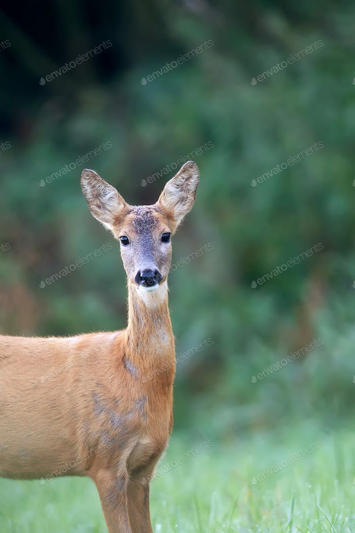 Roe deer in a clearing, a portrait