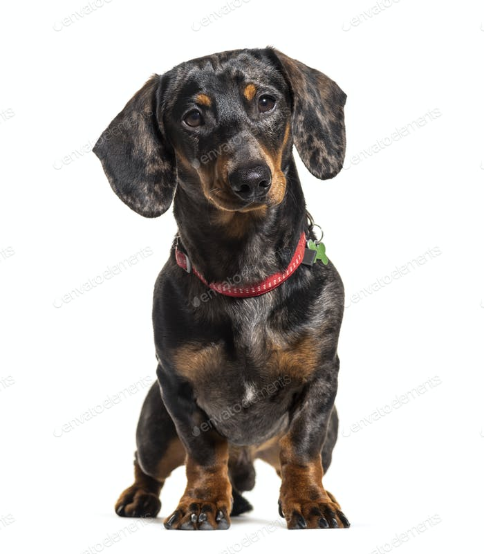 Dachshund wearing a collar, isolated on white