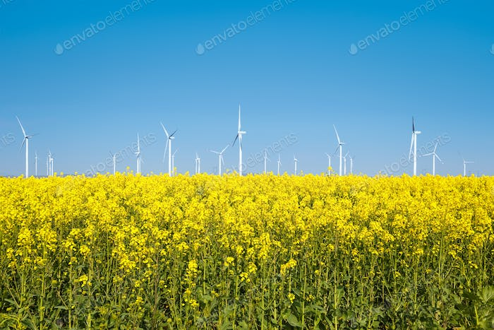 rapeseed flowers are in full bloom, wind turbines with spring landscape