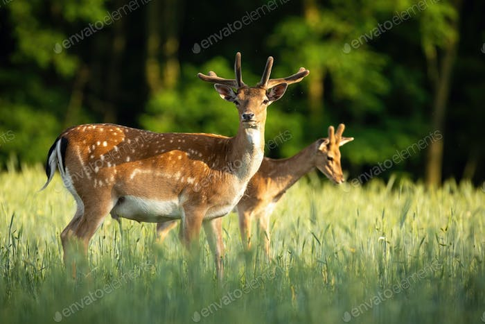 Pair of fallow deer stags standing on meadow in the summer