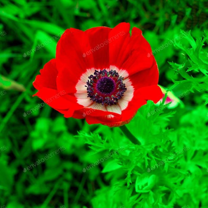 Poppy. Flower. Minimal style