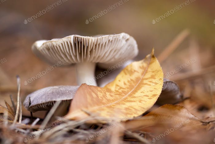 Autumn mushroom and a yellow gold leaf