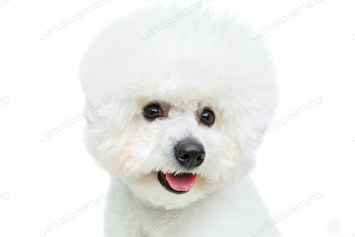 beautiful bichon frisee dog