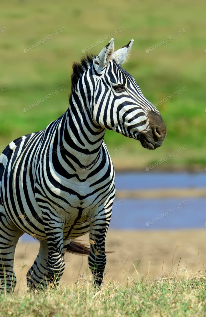 Zebra in National park of Kenya