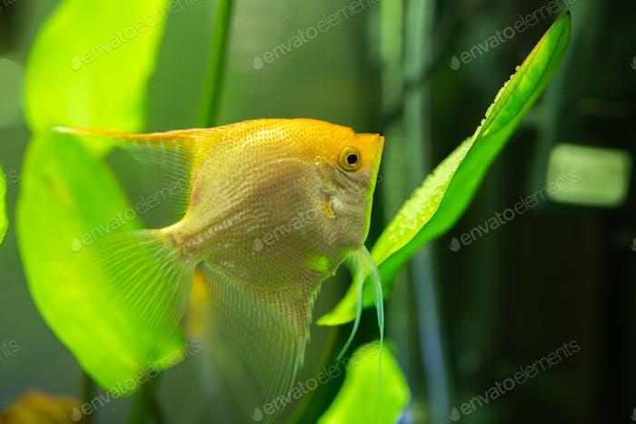 Gold Pterophyllum Scalare in aqarium water, yellow angelfish guarding eggs