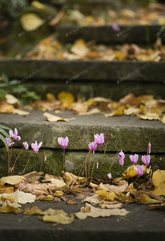 Purple cyclamen flowers