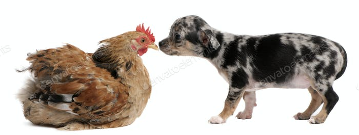 Chihuahua puppy interacting with a hen in front of white background