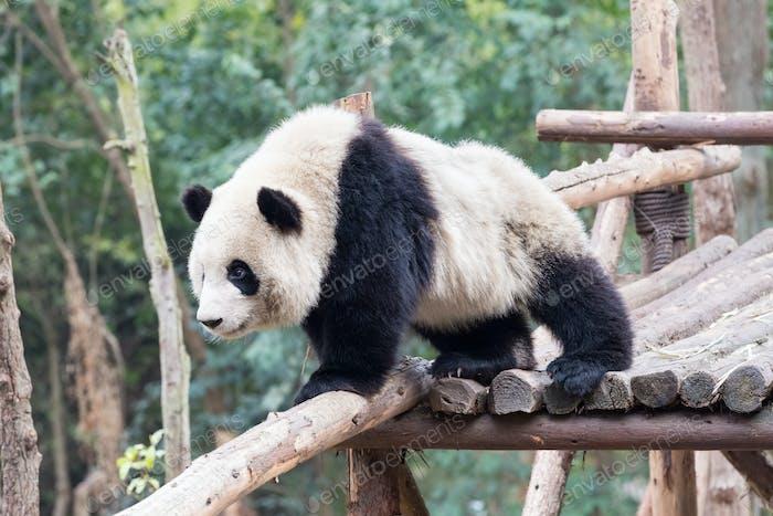 Panda Baby Nahaufnahme