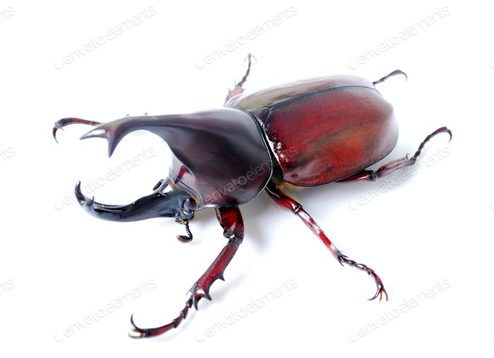Käfer Flügel ist auch bekannt als hart oder dass Xylotrupes gideon