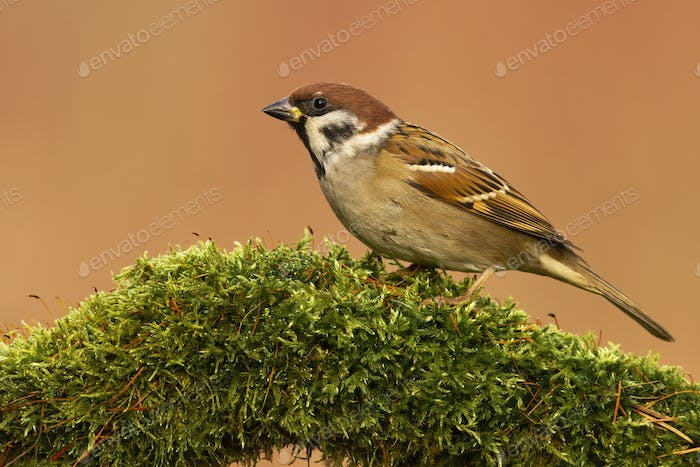 Eurasian tree sparrow sitting on branch with green moss in spring
