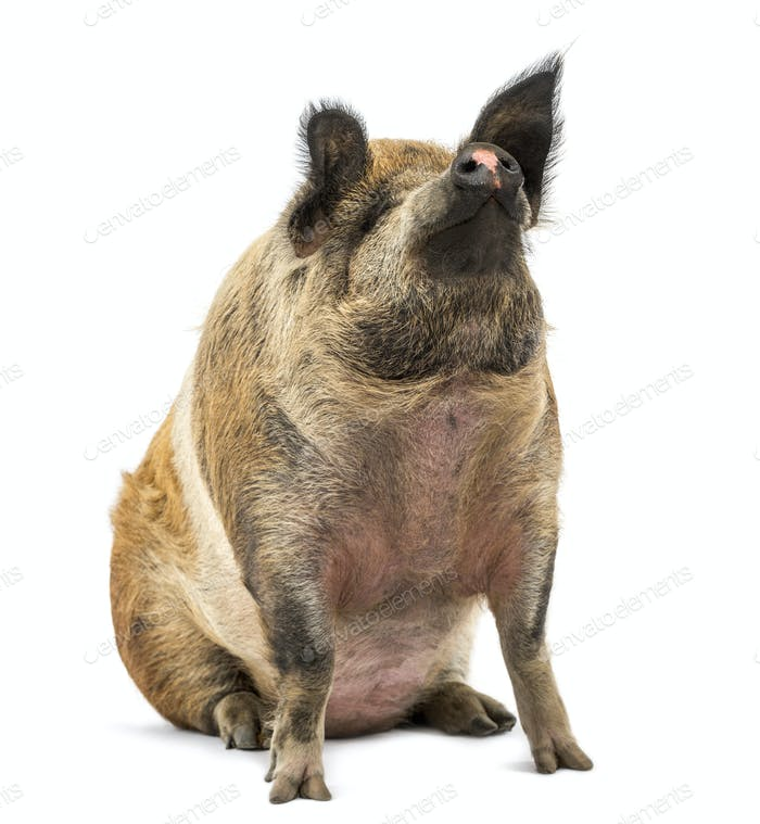 Domestic Pig sitting and looking up, isolated on white