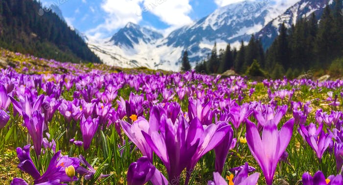 Field with flowers in mountain valley.