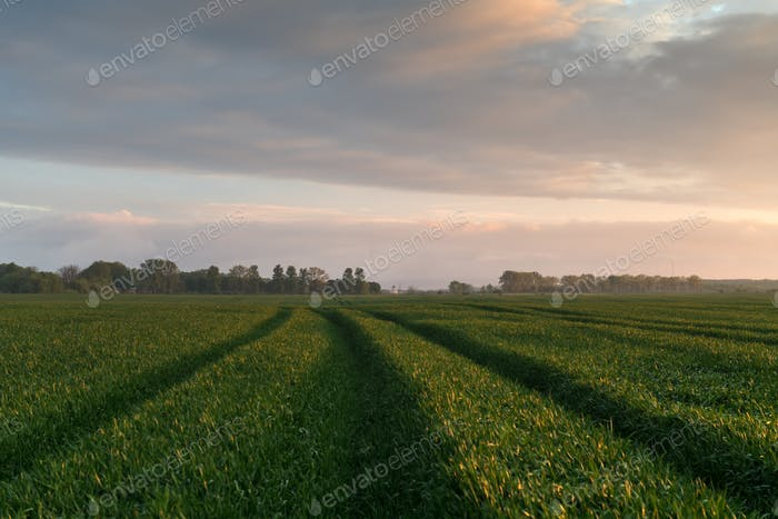 Road and green rows of young wheat on agriculture field