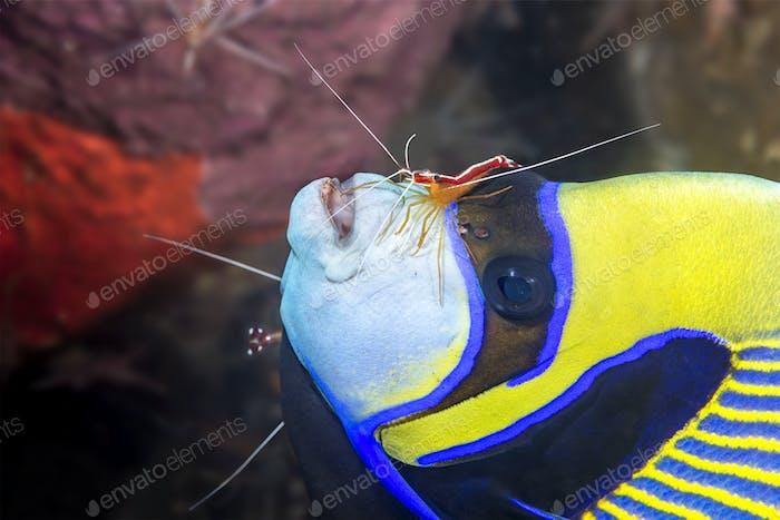 Kaiserfisch wird von Garnelen gereinigt