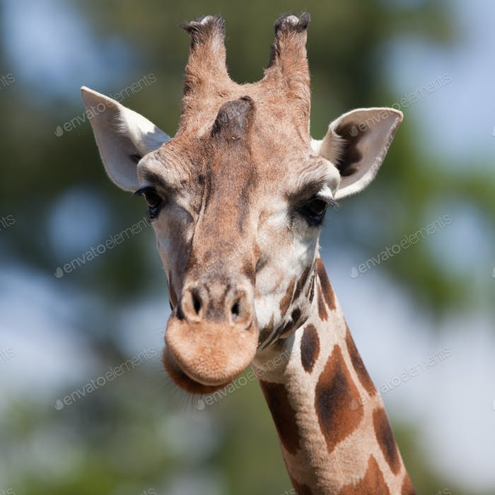 portrait of a giraffe (Camelopardalis) against green background