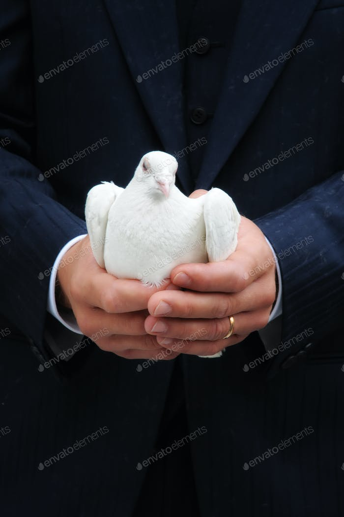 White dove cupped in a male hands