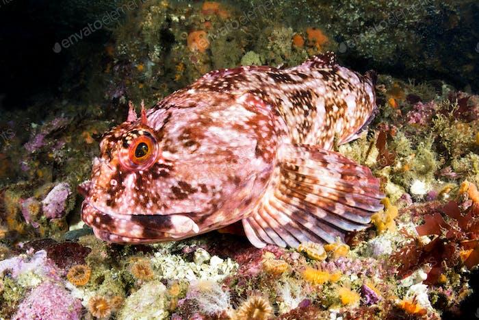 Cabezon Fish