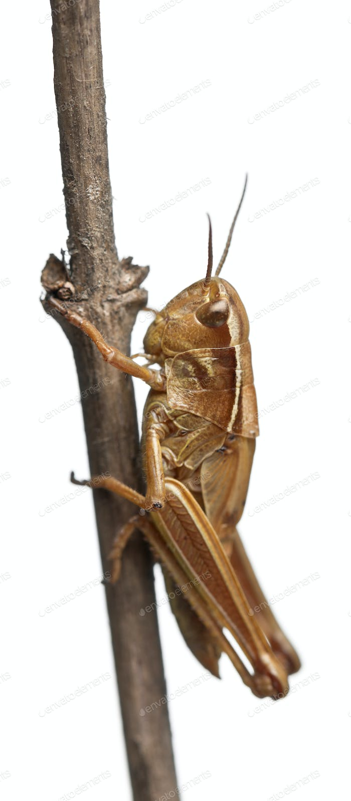 Grasshopper on branch in front of white background